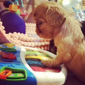 puppy on toy